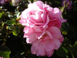 Pink Rose 5 by AsariStock