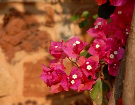 Bougainvillea Without Apology by nanmelville