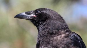 Young Common Raven by Folkeye