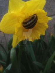 Daffodilling snail vers 3