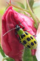 Spotted Cucumber Beetle by Squirrelflight-77