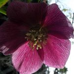 hellebore by graphic-rusty