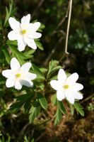 Wood Anemones by NaviStock