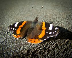 Red Admiral by AstarothSquirrel
