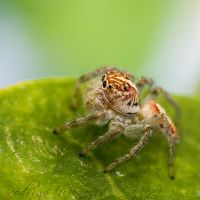 Jumping Spider II by ironmanbr