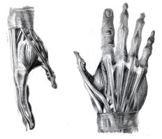 muscle hands. by el-dalton