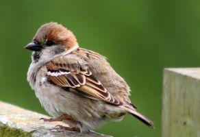 Young Sparrow by philbertk