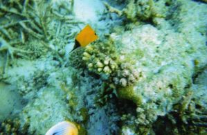 Butterfly fish - Photo 1 Maldives by Kooskia