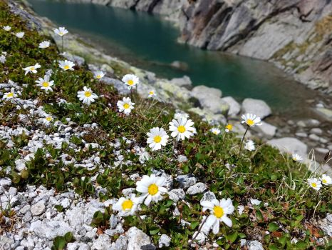 Daisies by the mountain lake by glass-eater