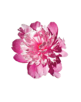 Pink Flower Stock PNG by kpep