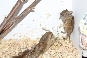 Degu Stock 2 of 10 ~ Males by Lovely-DreamCatcher