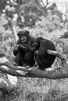 Chimpanzees by Dave-D