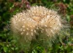 Thistle by starykocur