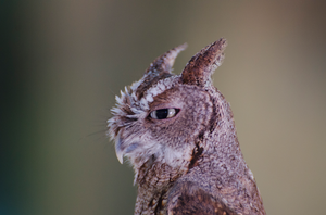 Screech Owl by Focus-Fire