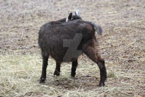 Goat stock 2 by inapatricia