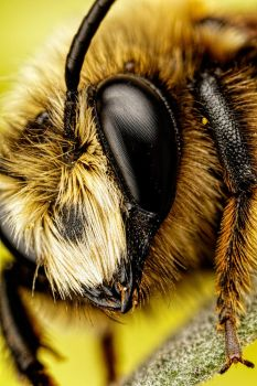 Mason Bee II by dalantech