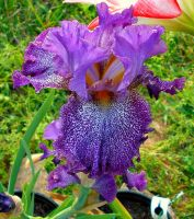 Purple Speckled Iris by Calypso1977