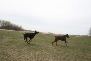 Running Doberman Stock by brenna33