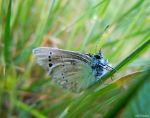 Adonis blue butterfly by VasiDgallery