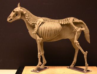 Horse Ecorche - Day 14 by aerie-