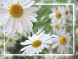 bouquet of daisies. by steeerne