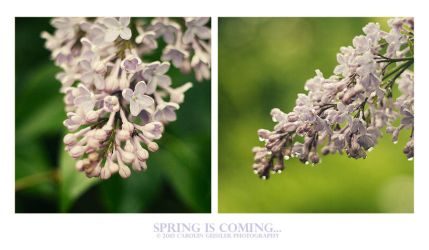 Lilacs by expressoneself