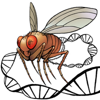 drosophila by nunt