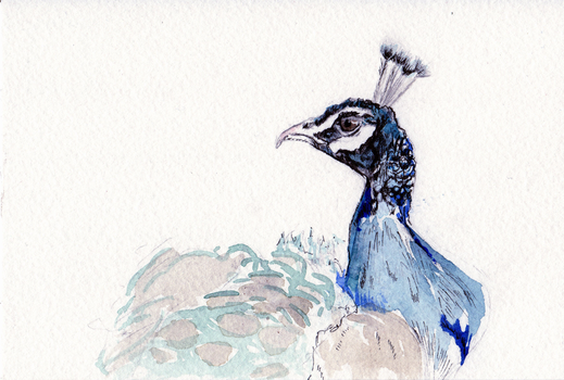 Peacock [Thank you note #2] by JackSephton