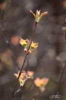 Spring leaf buds by themanitou