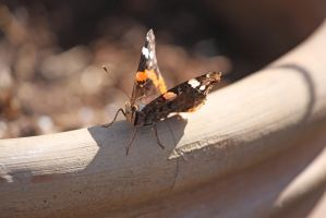 Red Admiral by Saromei