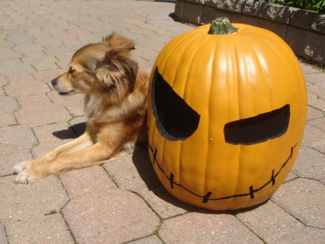 pumpkin stares into your soul. by zanyism