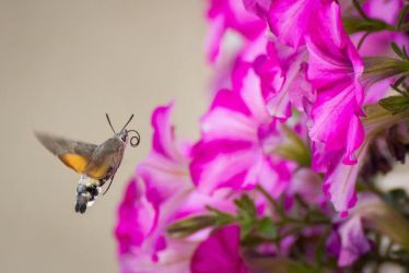 Hummingbird Hawk Moth by JoeGP