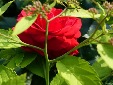A shy red Rose by JacqBoja