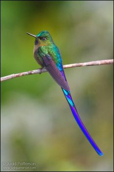 Violet-tailed Sylph by juddpatterson