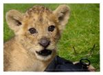 Camera Case Cub by HeWhoWalksWithTigers