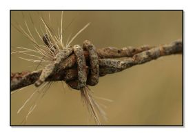Macro Dear Fur and Barbed Wire by ocelot99992003