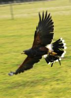 Harris Hawk Stock 18 by LRG-Photography