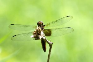 Dragonfly by ProjectDarkling