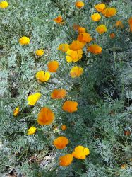 California Poppies by HouseofChabrier