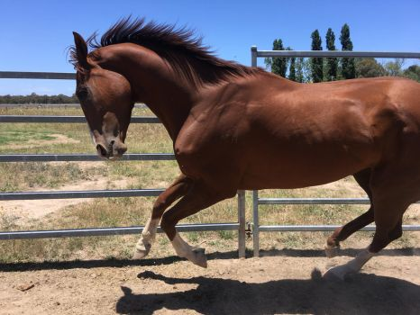 Thoroughbred Stock 3/4 Canter by Lucid-Dimensions