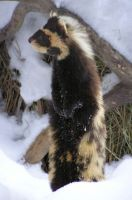 marbled polecat day by mama-Lua