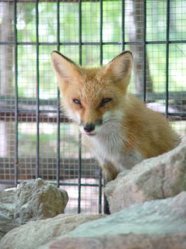 Red Fox 03 by LinzStock