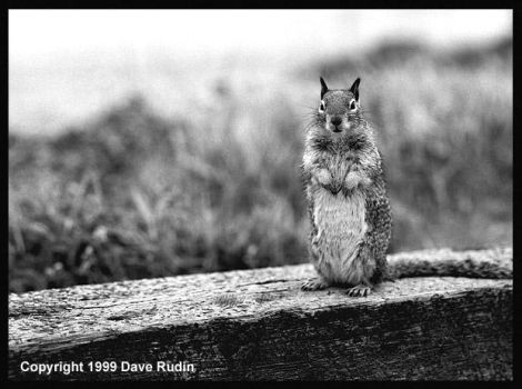 Squirrel, Point Lobos, 1999 by DaveR99