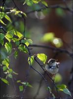 Willow warbler by Loneiris