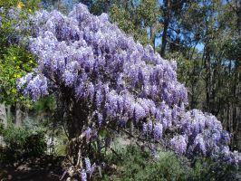 Wisteria by AussieSheilaSunsets