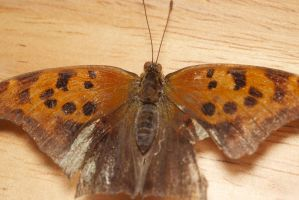 butterfly id eastern comma by Me-mice-elf-and-eye