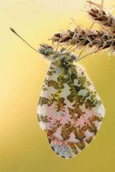 Male Orange Tip by MartinAmm