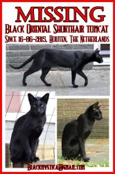 MISSING BLACK ORIENTAL SHORTHAIR TOMCAT from NL by FelisGlacialis