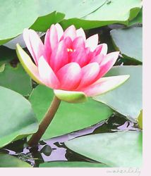 Waterlily by galactose