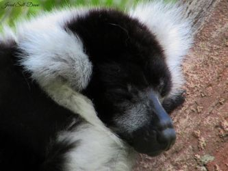 Sleeping Lemur by Soll-DenneGallery